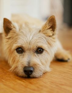 Carin Terrier,,,,So pretty Terrier Breeds, Terrier Dogs, Dog Breeds, Cairn Terriers, Cairns, I Love Dogs, Cute Dogs, Sweet Dogs, Norwich Terrier