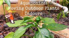 Suburban Aquaponics - Moving Outdoor Plants Indoors ~ Simple Suburban Living