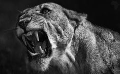 Portrait of a Lioness - Kenya, Masai Mara NR. From my B&W collection. Animal Sketches, Animal Drawings, Amazing Beasts, Lion Photography, Lioness Tattoo, Lion And Lioness, Lion Art, Wild Creatures, Mundo Animal