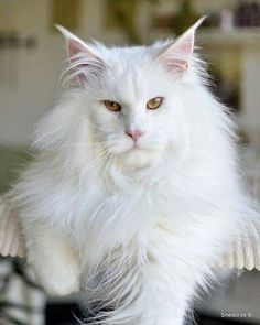 """** """"Der be noes endin'. It justs de place wheres yoo stop de story."""" http://www.mainecoonguide.com/what-is-the-average-maine-coon-lifespan/"""