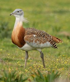 Great Bustard - (Otis tarda) The Great bustard is the eaviest birds capable of flight, averaging up to 16 kg (35 lb) and weighing 2 to 3 times as much as their female counterparts.
