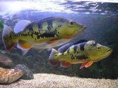 Peacock Bass Cichla