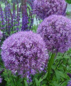 """Allium 'Pinball Wizard' 2' tall w/ 8"""" puff balls. (John Scheepers Beauty from Bulbs Dutch Flower Bulbs Catalog)"""
