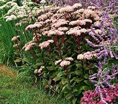 Sedum telephium Matrona - White Flower Farm