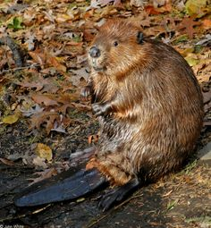 American Beaver | American Beaver (Castor canadensis); Image ONLY