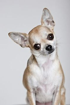 Warning: Don't buy a chihuahua if you don't have the emotional real estate in your heart or the time for the complete love and attention of this furry little pet.  They are like children... Chica the chihuahua #Chihuahua