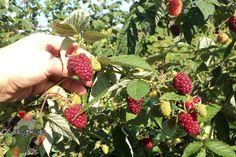 Уход за малиной осенью – когда и как, сроки, укрытие на зиму, подготовка к зиме, обрезка, опрыскивание от болезней и вредителей, как обрезать верхушки, хороший урожай
