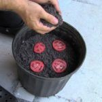 Growing Tomatoes In Pots Creative Ideas - How To Grow Tomato Seedlings The Easiest Way Growing Tomatoes From Seed, Growing Tomatoes In Containers, Growing Vegetables, Grow Tomatoes, Rotten Tomatoes, Regrow Vegetables, Baby Tomatoes, Heirloom Tomatoes, Tomato Seedlings