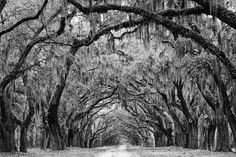Black and white landscape photograph of the beautiful Avenue of the Oaks at Wormsloe Plantation in Savannah, Georgia. The avenue, lined with over 400 mighty oaks, is a one-and-a-half mile driveway int