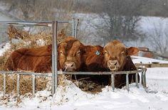 Cattle nestled in a feeder  (Photo: Punkin's Patch)