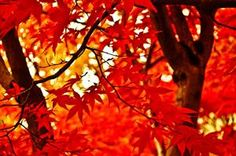 Japanese Maple, Portland, Oregon  photo via fingers