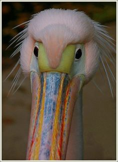 the colors of nature. A real pelican Pretty Birds, Love Birds, Beautiful Birds, Animals Beautiful, Cute Animals, Wild Animals, Baby Animals, Exotic Birds, Colorful Birds