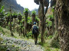 #GiantGroundsel Ruwenzori Mountains