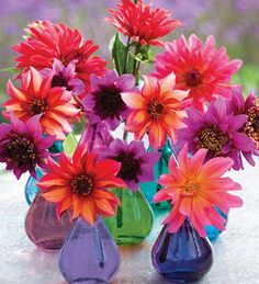 The hot dahlia collection is my absolute top favourite collection of dahlias including many of my newest finds in a beautiful range of saturated colours.