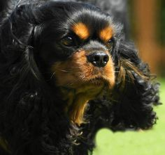 Very beautiful black and tan Cavalier