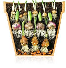 Layer Your Bulbs  for weeks of continuous bloom! #Flower_Bulbs #Forcing_Bulbs