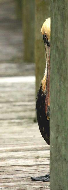 Sneaky Pelican.