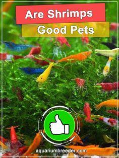 Are Shrimps Good Pets? Pet Shrimp, Shrimp Tank, Cool Pictures, Pets, Animals And Pets