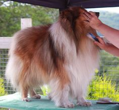 Rough Collie Grooming - by the Rough Collie Breed Council