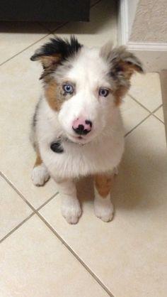 Australian Shepard blue Merle male puppy #walter #bestfriend