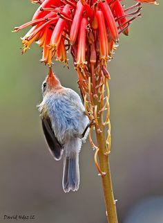 Mosquitero canario (Phylloscopus canariensis) by David Hdez.