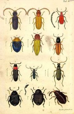 Vintage Science Plate Poster. Insects. Beetles @ curiousprints on Etsy
