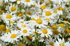 summer field with daisies - Stock Footage   by Svetavo