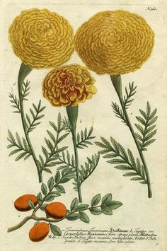 Marigold Magic I Giclee Print Poster by Johann Wilhelm Weinmann Online On Sale at Wall Art Store – Posters-Print.com