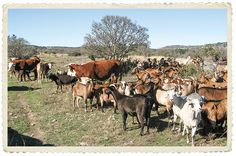 Hereford cows and spanish goats graze together Hereford Cows, Texas Hill Country, Sheep, Goats, Ranch, Spanish, Tray, Guest Ranch, Spanish Language