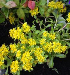 Gul bergknapp - Sedum - My own garden 29.6.14 IJ