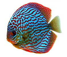 Stendker Discus - Discus Fish bred for health and vitality