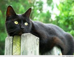 Beautiful black cat.