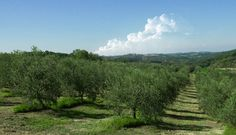 #tuscanycook our Organic Olive groves #contactus  www.tuscanycook.com