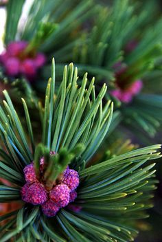 White Pine Berries - pretty! They say they taste like pineapple.