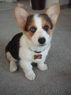 1000 Images About The Cutest Corgi Puppy Pictures On
