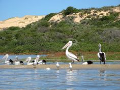 Notes from a Trail Head: Kayaking on the Coorong • South Australia is home to the beautiful Coorong ecosystem and National Park, a few hours drive from Adelaide city • pelicans on the Coorong • why we love Adelaide
