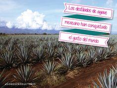 Los destilados de agave mexicano han conquistado el gusto del mundo. SAGARPA SAGARPAMX #SomosProductores