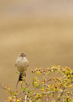 Birding Patagonia - Coludito Cola Negra -