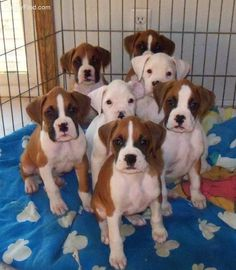 A six pack of sweet boxer puppies! Bailey has to be part Boxer Boxer Love, Boxer And Baby, Baby Animals, Funny Animals, Cute Animals, Cute Puppies, Cute Dogs, White Boxer Puppies, Funny Dogs