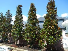 Beautiful design using a row of DD Blanchard Magnolia Trees windowed with a row of Eagleston Hollies. These will provide year round color and a nice backdrop and privacy screen for this customers backyard. // Image from Treeland Nursery Screen Plants, Privacy Plants, Privacy Landscaping, Modern Landscaping, Privacy Screens, Backyard Privacy, Landscaping Ideas, Evergreen Magnolia, Magnolia Trees