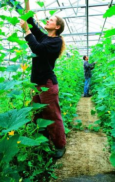 Greenhouse gardening writ large: at Growing with Grace, all crops are grown under glass in big, extreme weather-defying unheated greenhouses. These are squashes being trained up strings.