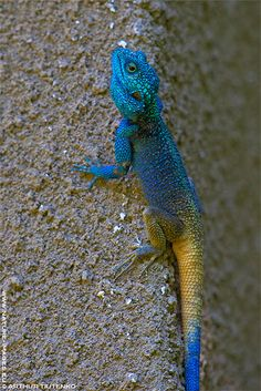 Blue-headed Tree Agama (Uganda)