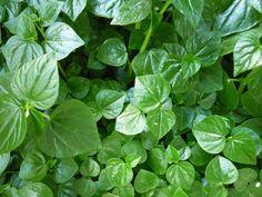 Puedes cultivar berro en tu huerto para así tener una hortaliza de hoja diferente.