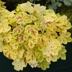 Specialist Growers of Heucheras, Heucherella, Tiarella, Hardy Perennials and many new and unusual plants Growing Grapes, Growing Plants, Shade Garden, Garden Plants, Fire Pit Yard, Cactus Plante, Coral Bells, Aquaponics Plants, Homemade 3d Printer