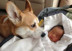 Adorable pictures: Corgi dog guard newborn