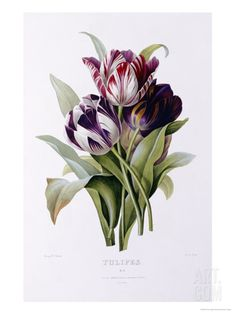 Tulips Art Print by Pierre-Joseph Redouté. Flower bouquet purple white red