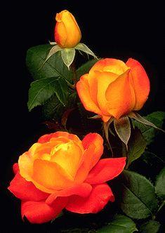 Judy Garland - bare root rose
