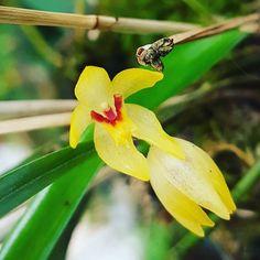 #flowers #flower #TagsForLikes #petal #petals #nature #beautiful #love #pretty #plants #blossom #sopretty #flowerstagram #flowersofinstagram #flowerslovers #flowerporn #botanical #floral #florals #insta_pick_blossom #flowermagic #instablooms #bloom #blooms #botanical #floweroftheday #orchid #orchids #orquídea #orquídeas