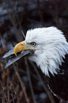 WILD BALD EAGLE GULPS FISH IN HAINES, ALASKA.  Learn more about this fabulous, accessible from the highway, eagle viewing destination at http://www.examiner.com/article/beautiful-scenic-drive-on-alaska-and-canada-s-haines-highway