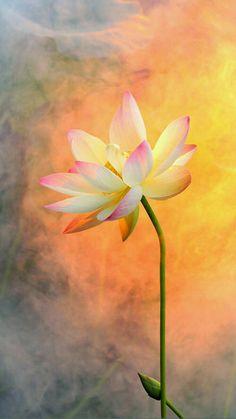 Lotus Wallpaper, Lily Wallpaper, Drawing Wallpaper, Flower Background Wallpaper, Flower Phone Wallpaper, Flower Backgrounds, Iphone Wallpaper, Lotus Flower Pictures, Lotus Flower Art